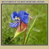 Wild Iris Wht. Mtns Arizona