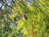 Fly Catcher in a Mesquite Tree,