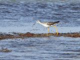 Greater Yellowlegs, Packery Channel