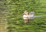 Green-winged Teal, Paradise Pond at Sunset