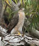 Cooper's Hawk at Paradise Pond