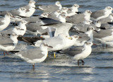 Gull Group with Ring-billed Gull, Hans Suter, Corpus Christi