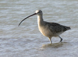 Long-billed Curlew, Packery Channel