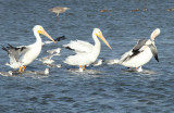 White Pelicans, Oso Bay