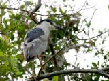 Lynn's Black-crowned Night Heron, Paradise Pond