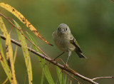 Lynn's Ruby-crowned Kinglet, Paradise Pond
