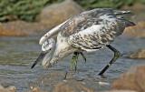 Westsern Reef Heron