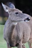 Cabin Deer