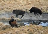 Playing bison