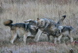 Wolves playing