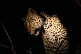 Female leopard on a duiker kill