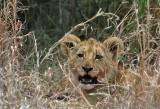 3 month old lion cub