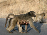 Baboon mom and baby