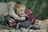 Pride of lions on a buffalo carcass