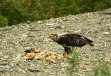 Immature Bald Eagle on a carcass