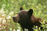 Black Bear along Klondike Highway