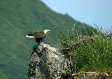 Bald Eagle nest on a rock