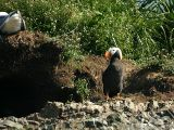 Puffin in front of burrow
