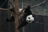 Tai Shan showing off