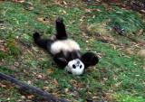 Tai Shan - panda roll