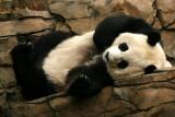 Mei Xiang's favorite sleeping spot