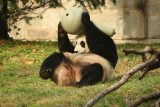 Mei Xiang with her treat ball