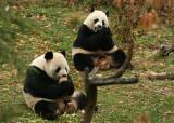 Mei Xiang & Tian Tian'