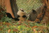 Tai Shan showing off for his mom