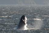 Humpback whale in Alberni Canal