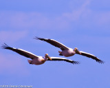 Great White Pelicansds20100628-0196w.jpg