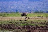 Solitary Cape Buffalo (Male)ds20100628-0202w.jpg