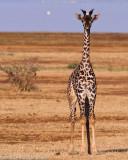 Giraffe Calfds20100628-0339w.jpg