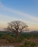 Baobabds20100628-0349w.jpg