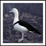 ds20051226_0043a1wF Duck.jpg