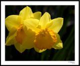 ds20060331_0065awF Daffodils.jpg