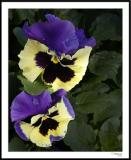 ds20060409_0061a1wF Pansy.jpg