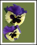 ds20060409_0061a2wF Pansy.jpg