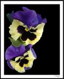 ds20060409_0061a3 Pansy.jpg