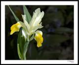 4/17/06 - White Iris?ds20060409_0054awF White Iris.jpg