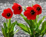 4/23/06 - Four Tulipsds20060419_0151aw Tulips 2.jpg