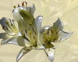 ds20060611_0005a3w Lillies.jpg
