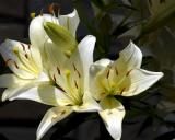 6/13/06 - Liliesds20060611_0005a1w Lilies.jpg
