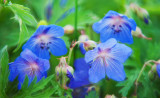 geraniumfantasy-web.jpg
