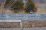 EASTERN BLUEBIRD / Merle bleu de l'est