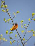 Northern Oriole / Oriole du Nord