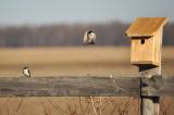 Tree Swallow / Hirondelle bicolore