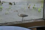 Great blue heron / Grand héron