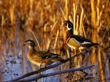 CANARDS & + / DUCKS & +