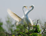 The Dance- A Great Egret Courtship gallery