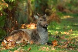 The Deer  and wildfowl at Dunham Massey ( NT)